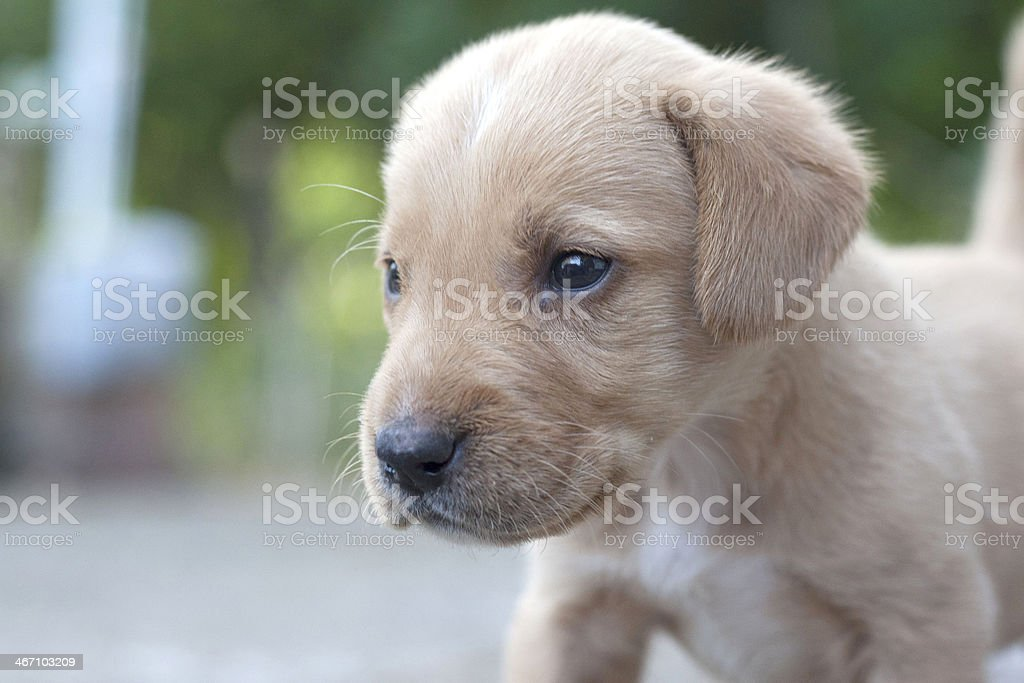 Portrait of yellow puppy outdoors royalty-free stock photo