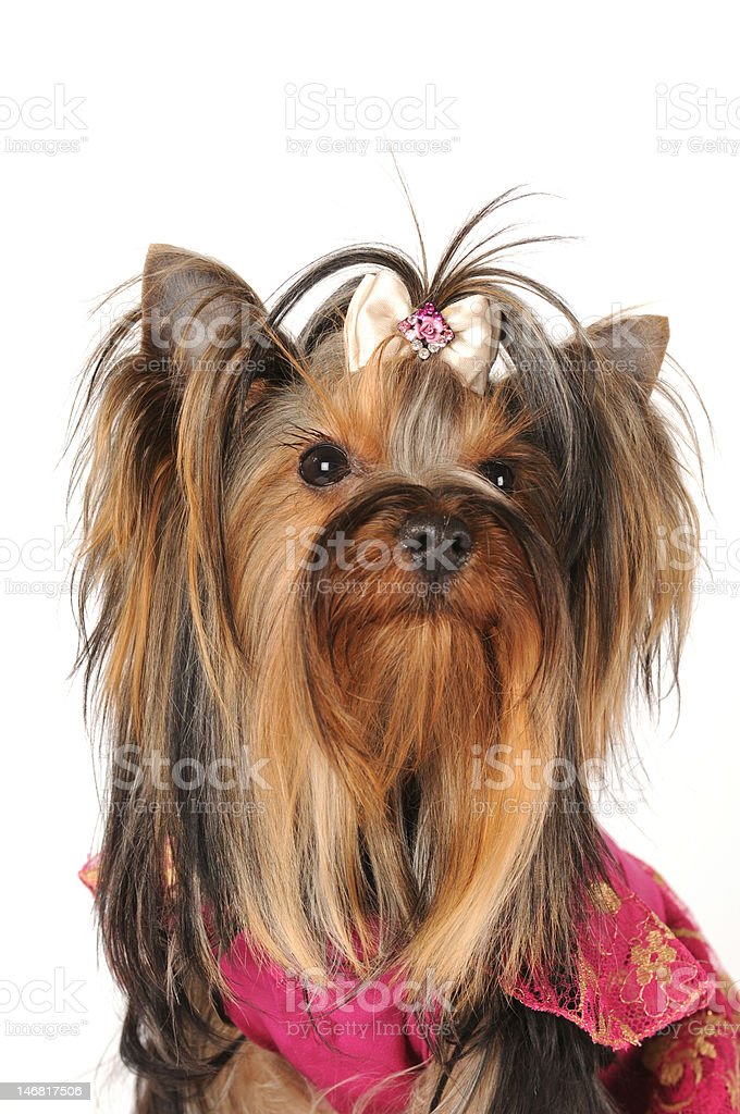Portrait of yorkshire terrier isolated on white royalty-free stock photo