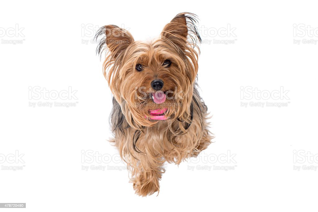 Portrait of Yorkshire Terrier with Pink Collar stock photo