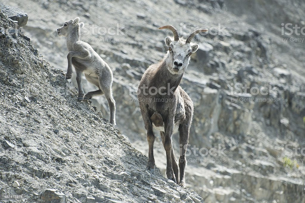 Portrait of young and mature rock goats ibex stock photo