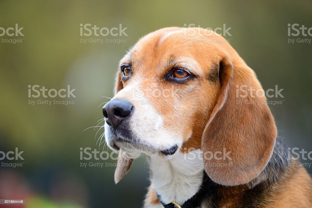Portrait of young Beagle dog stock photo