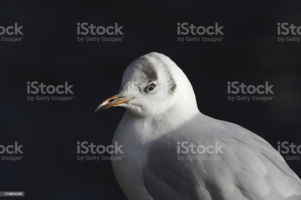 Portrait of young blackheaded gull in winter royalty-free stock photo
