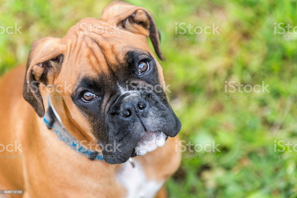 Portrait of young boxer dog. stock photo