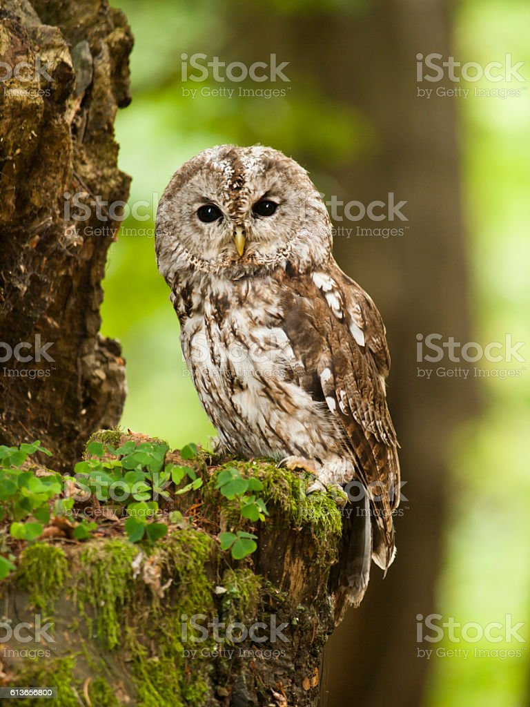 Portrait of young brown owl in forest - Strix aluco stock photo
