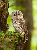 Portrait of young brown owl in forest - Strix aluco