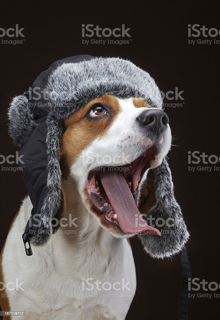 Portrait of young dog beagle royalty-free stock photo