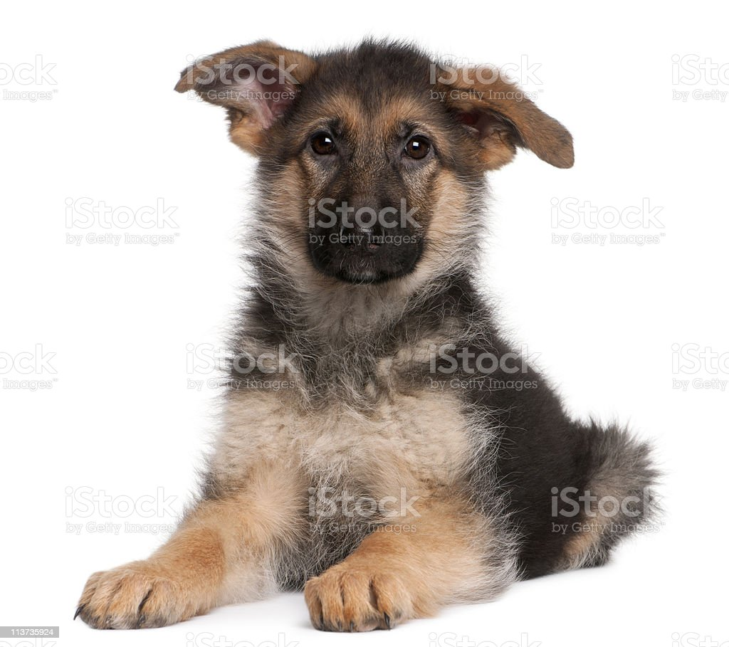 Portrait of young German Shepherd puppy on white stock photo