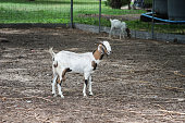 Portrait of young goat stand on a field,selective focus