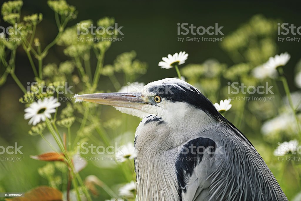 Portrait of young Grey Heron resting among flowers royalty-free stock photo