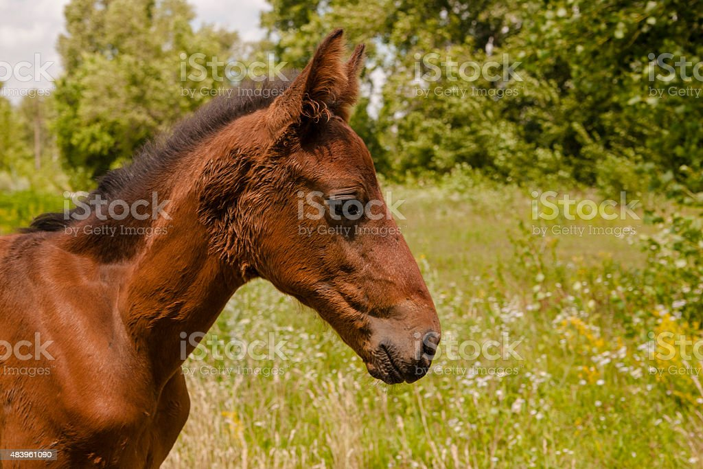 Portrait of young horse royalty-free stock photo