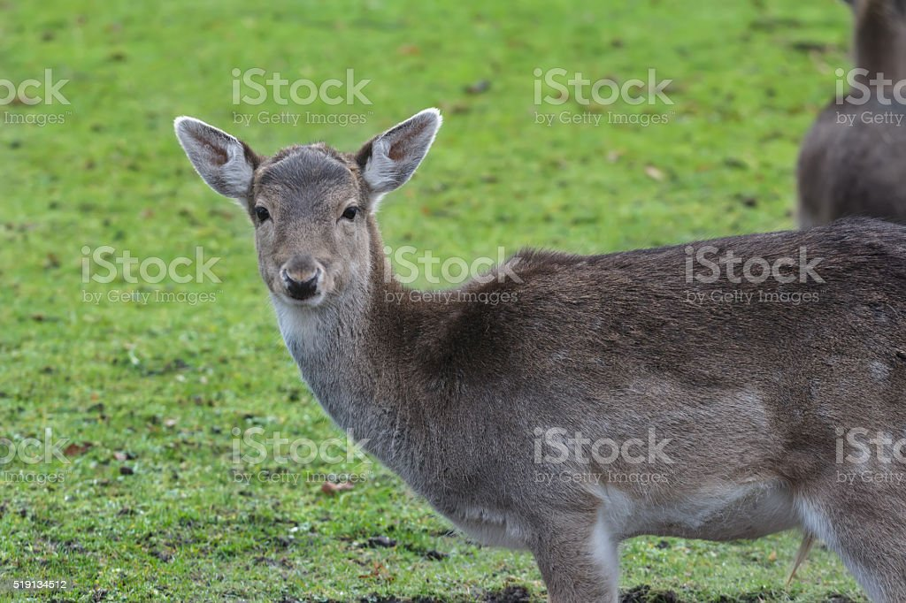 Portrait of young male fallow deer with winter unspotted coat stock photo