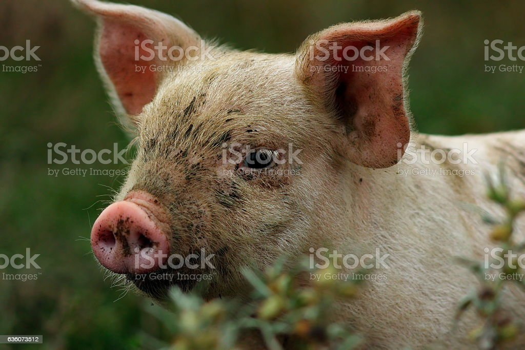 portrait of young pink pig stock photo