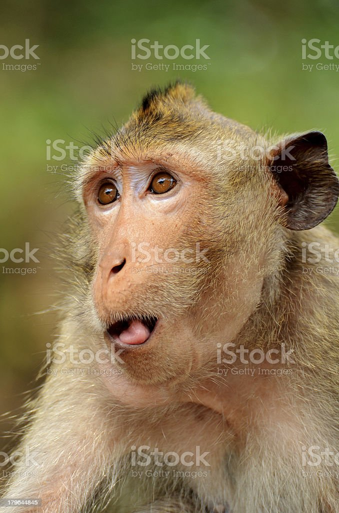Portrait of young rhesus macaque monkey royalty-free stock photo