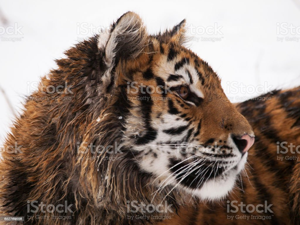Portrait of young siberian tiger - Panthera tigris altaica stock photo