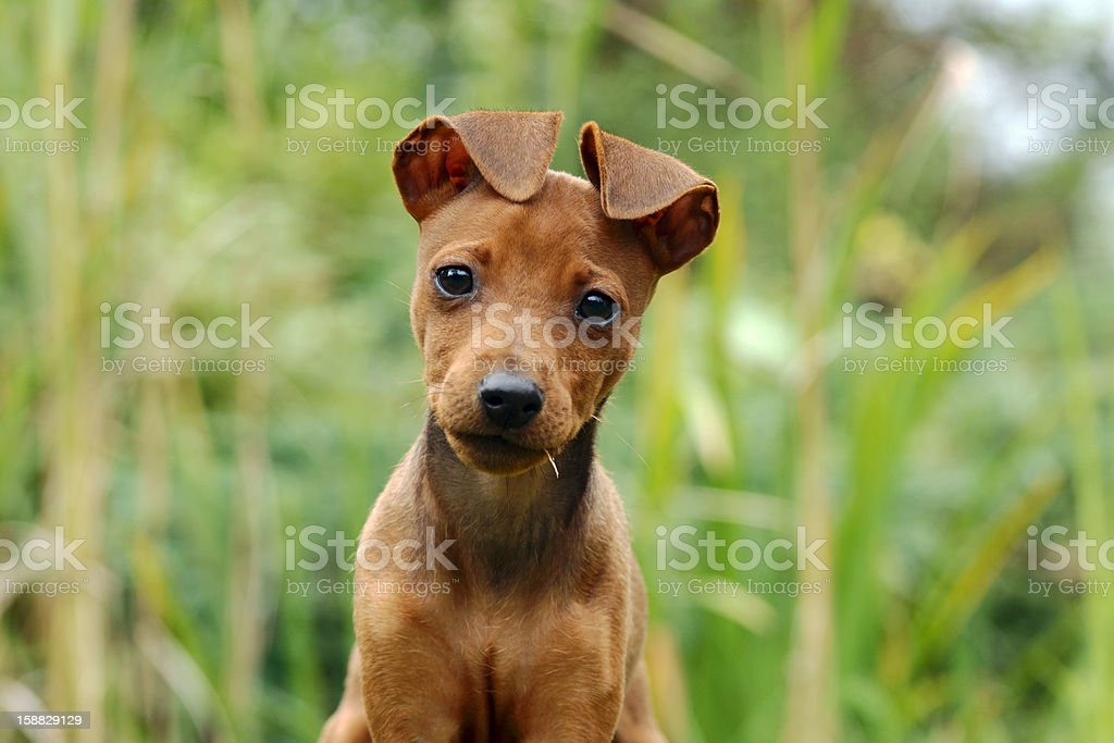 portrait of young, small dog royalty-free stock photo