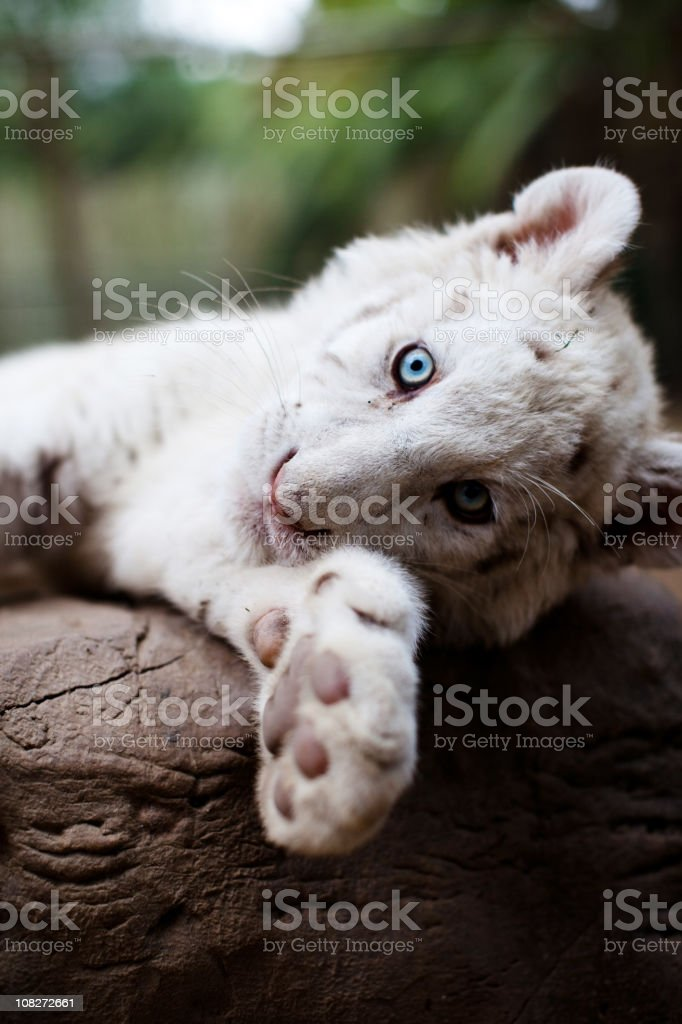 Portrait of Young White Bengal Tiger stock photo