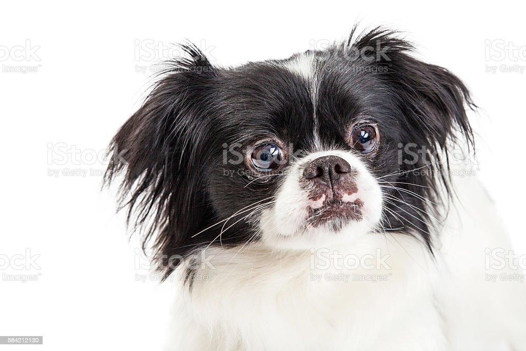 Portrait Pekingese Crossbreed Dog on White stock photo