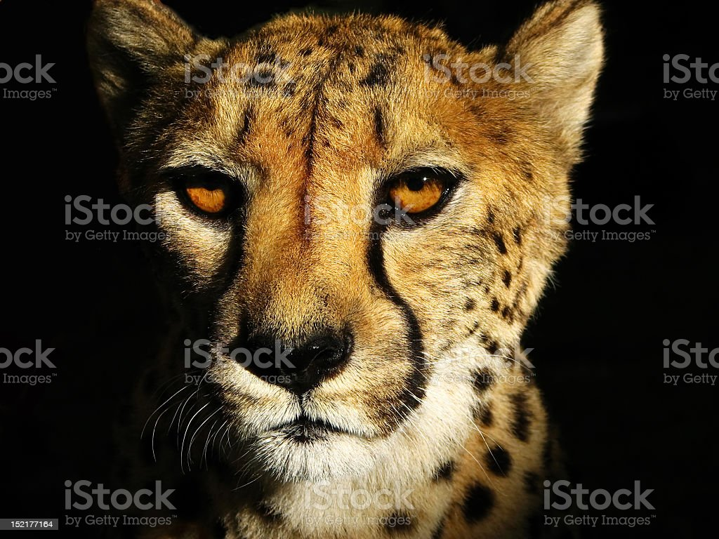 Portrait photograph of a cheetah's head on a dark background stock photo
