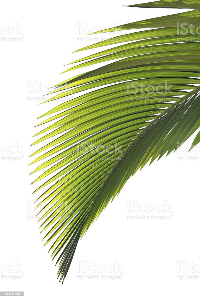 Portrait picture of green palm tree leaves stock photo