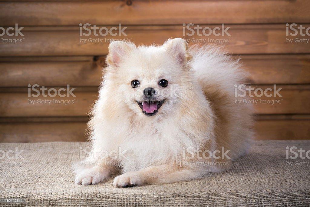 Portrait Pomeranian dog stock photo