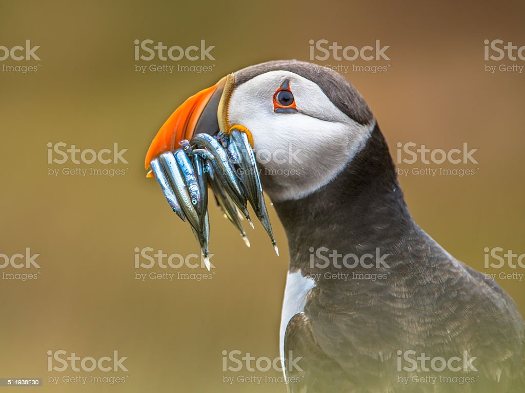 Portrait Puffin with beak full of fish stock photo