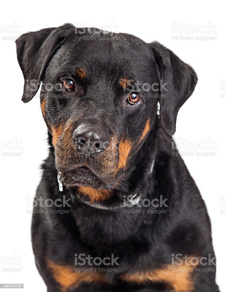 Portrait Rottweiler Dog Drooling stock photo