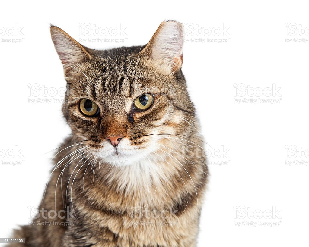 Portrait Tabby Cat With Tipped Ear stock photo