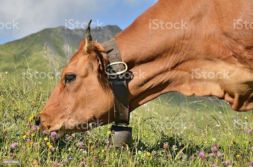 Portrait Tarine cow grazing stock photo