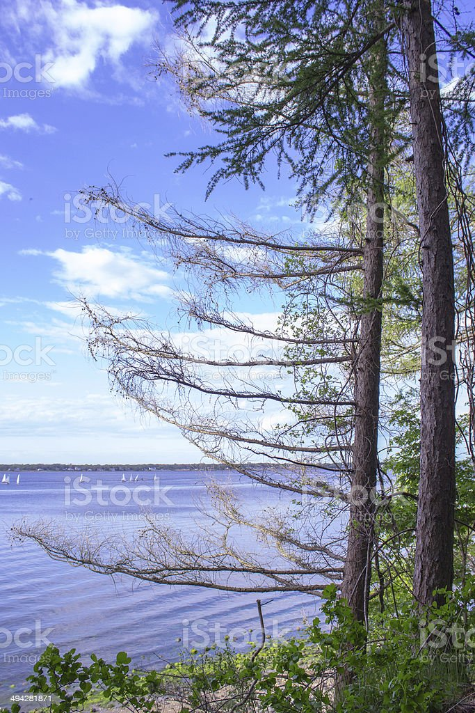 Portrait Tree looking over bay with sailboats royalty-free stock photo
