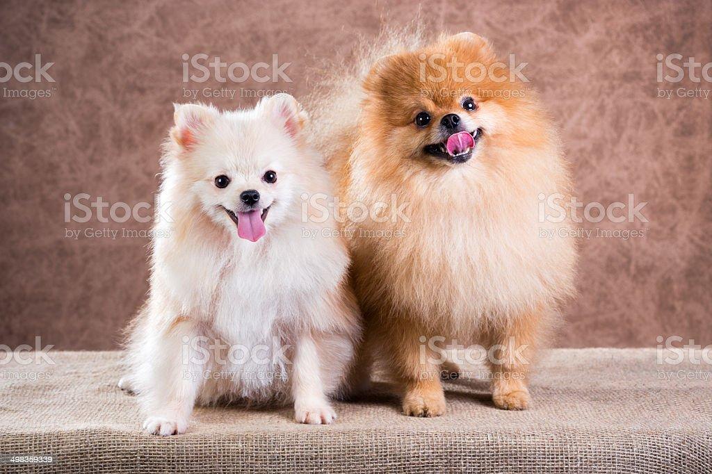 Portrait two Pomeranian dog stock photo