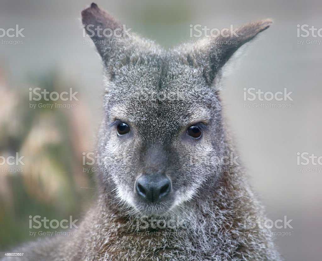 Portrait view of a Red-necked wallaby stock photo