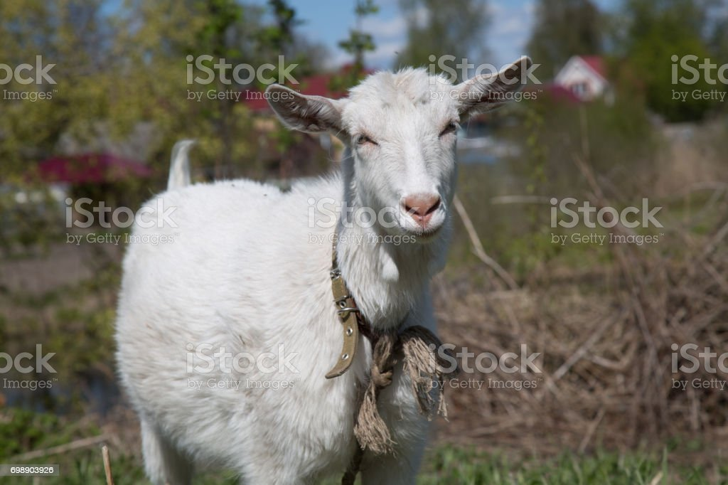 Portrait white female goat country side stock photo