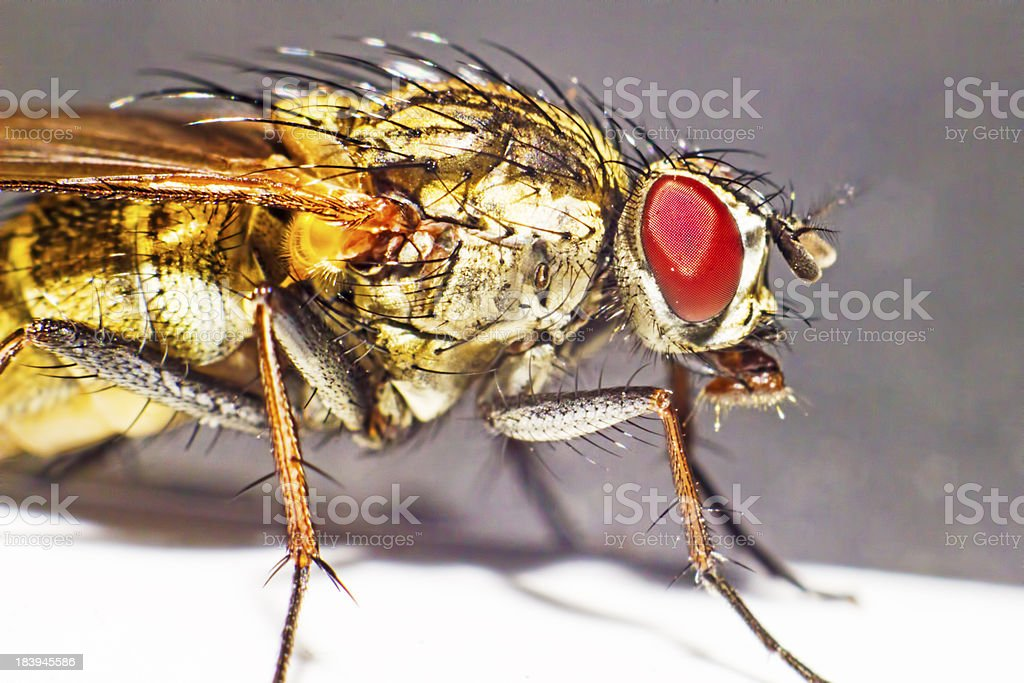 Portraiy of a Muscid Fly (Phaonia angelicae) royalty-free stock photo