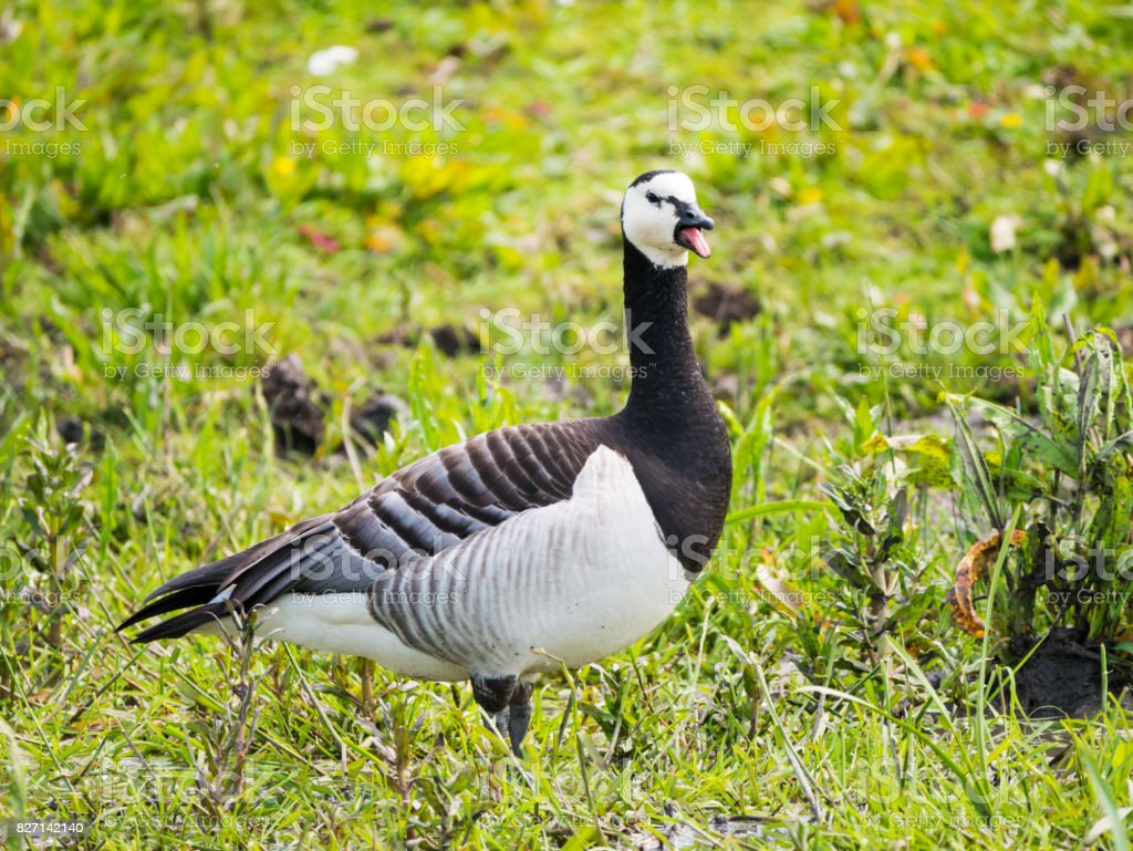 Portret of adult barnacle goose, Branta leucopsis, honking with open mouth stock photo
