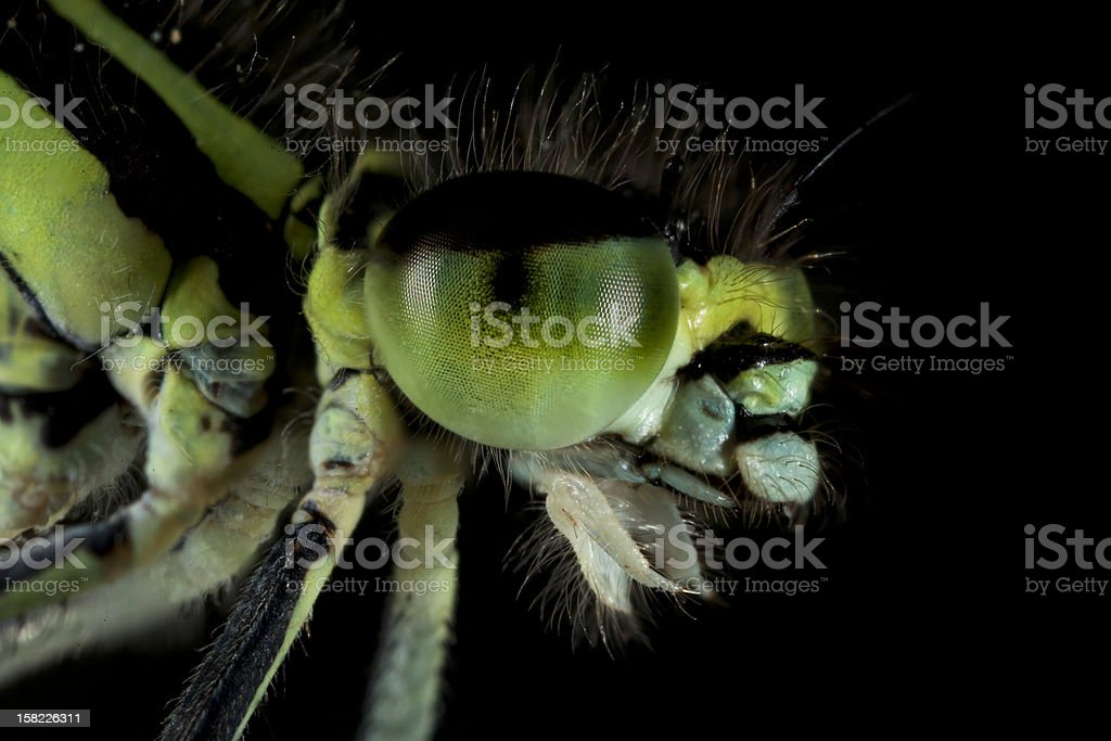 Porträt of a Dragonfly stock photo