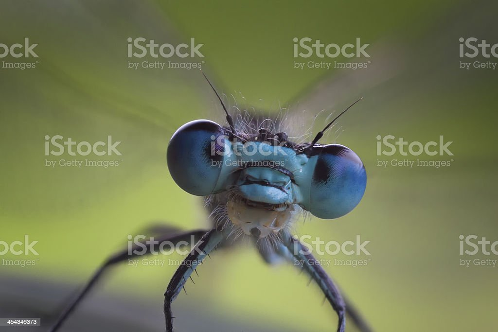 Porträt of a Dragonfly stock photo
