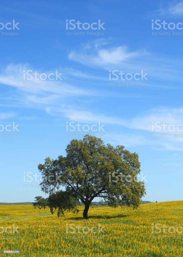 Portugal, Alentejo, Evora - solitary cork oak tree - Quercus suber, in a field of yellow spring flowers. stock photo