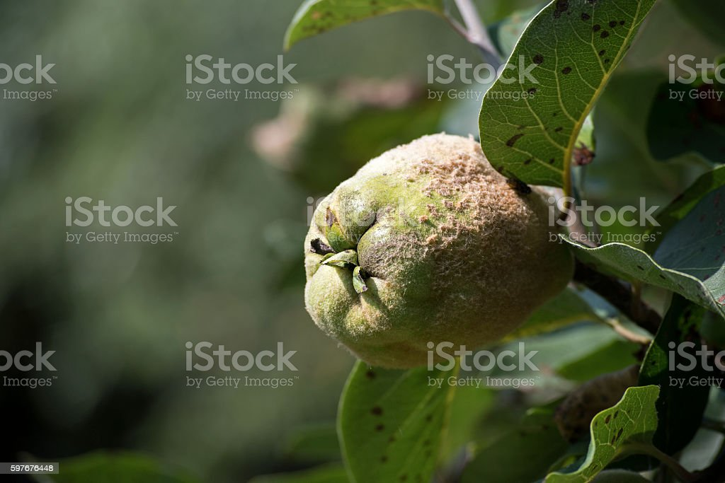 Portugal quince, also called pear quince stock photo