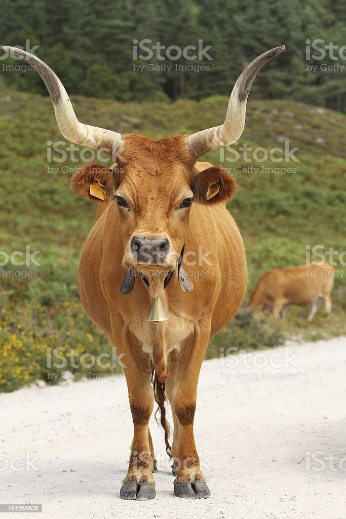 Portuguese mountain longhorn cattle royalty-free stock photo