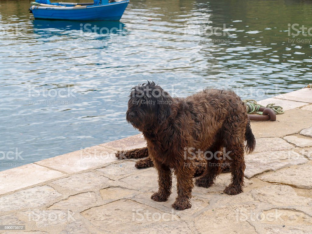 Portuguese water dog royalty-free stock photo