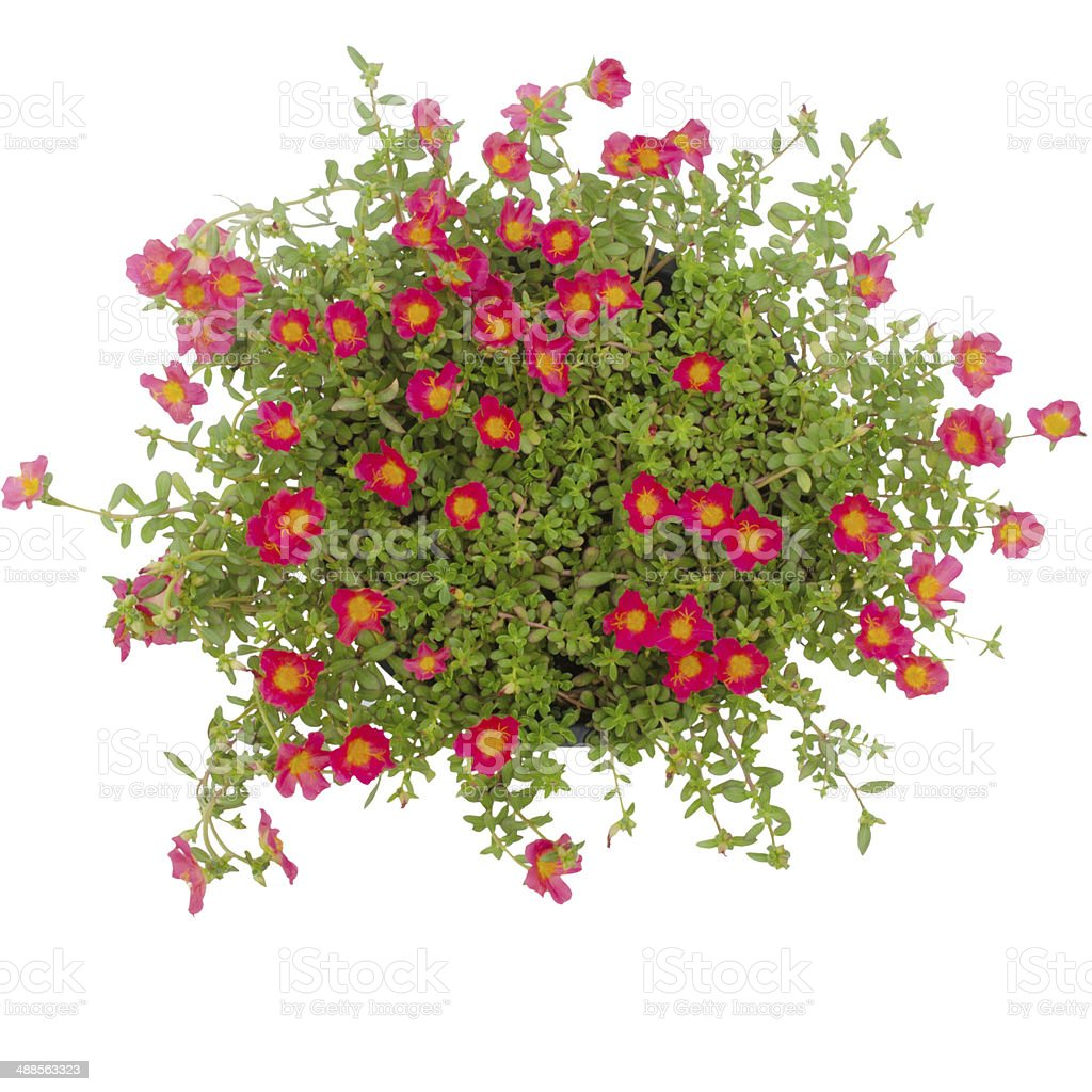 Portulaca flower in pot  isolated on white background stock photo