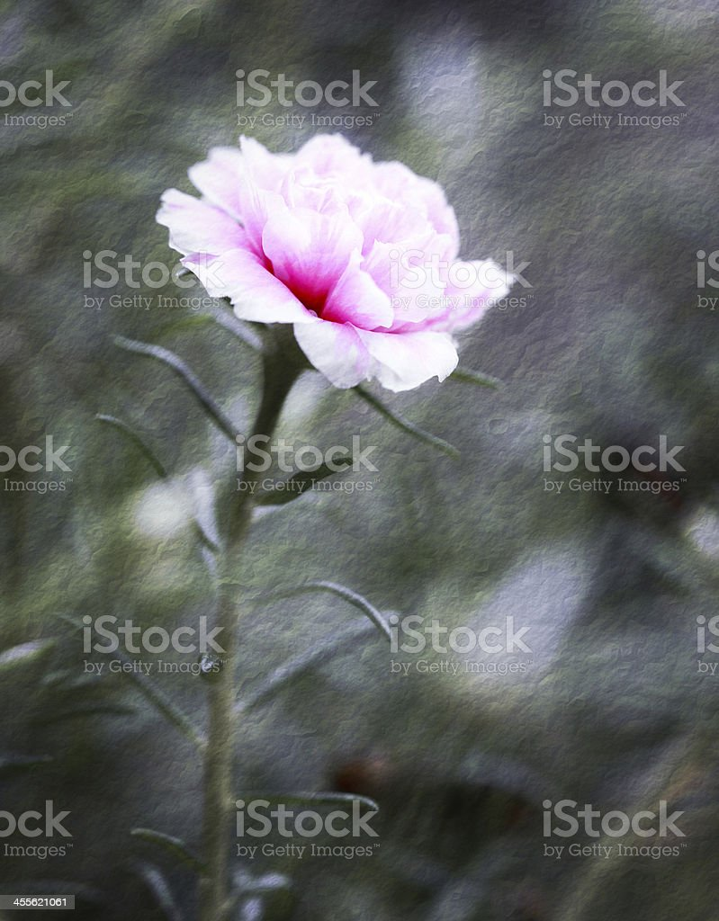 portulaca flower in the garden royalty-free stock photo
