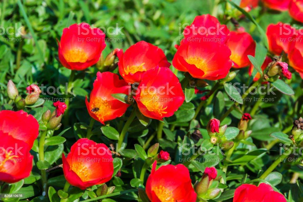 Portulaca flowers (Rosemoss) stock photo