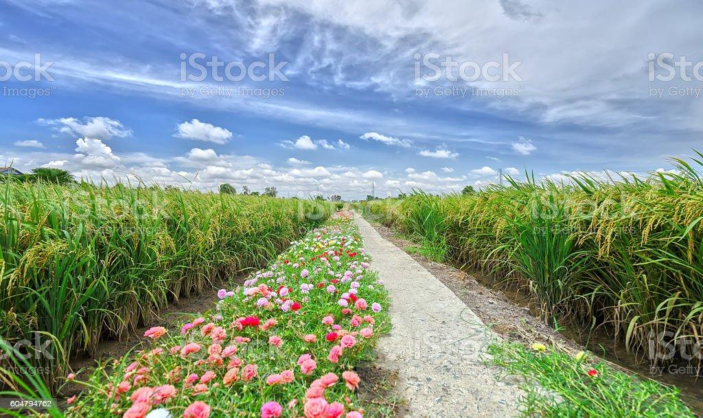 Portulaca grandiflora flower road stock photo