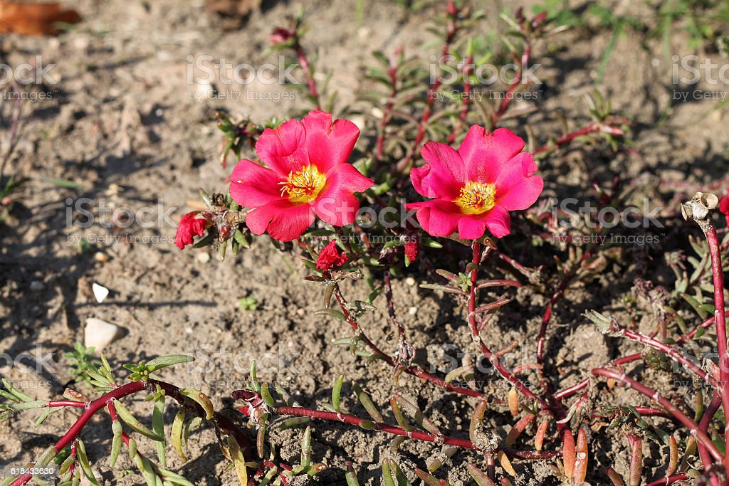 Portulaca grandiflora flowers stock photo