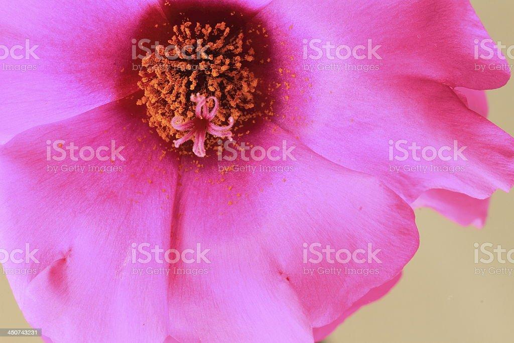 Portulaca Grandiflora stock photo