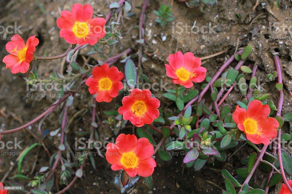 Portulaca grandiflora (ten o'clock flower) stock photo
