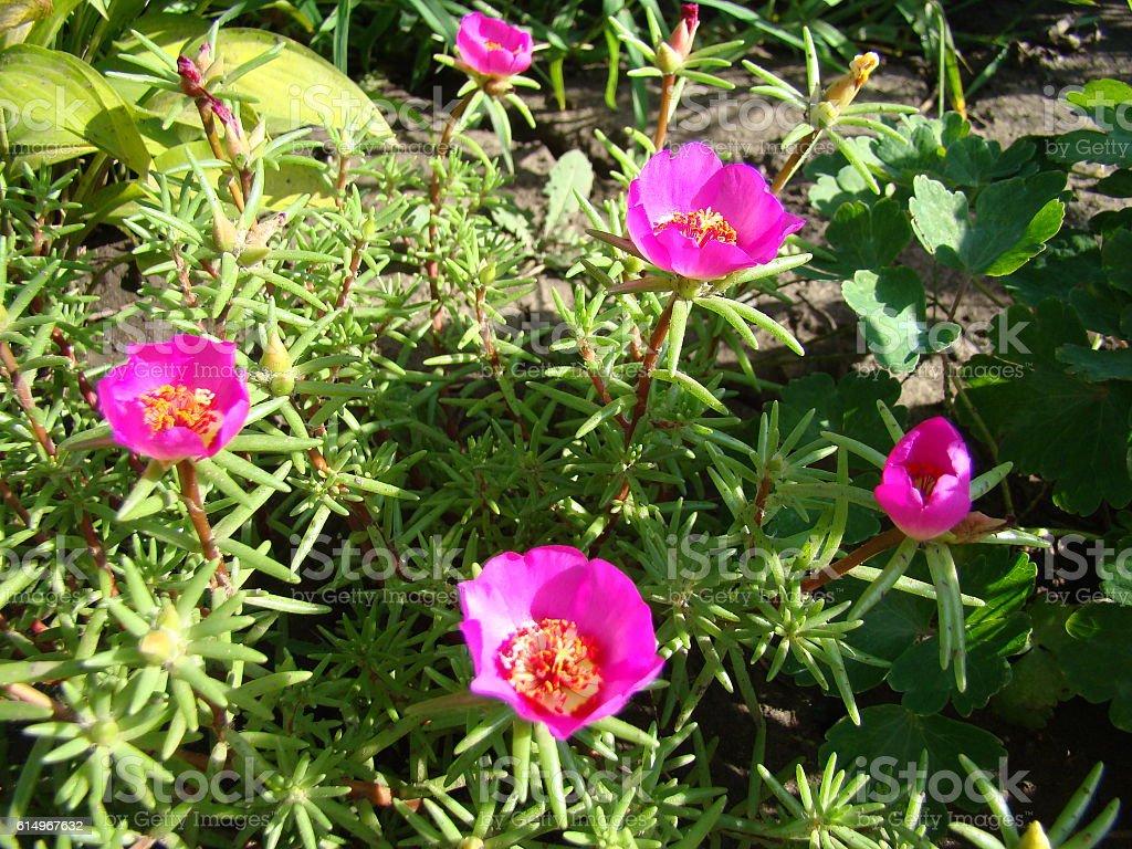 Portulaca grandiflora pink stock photo