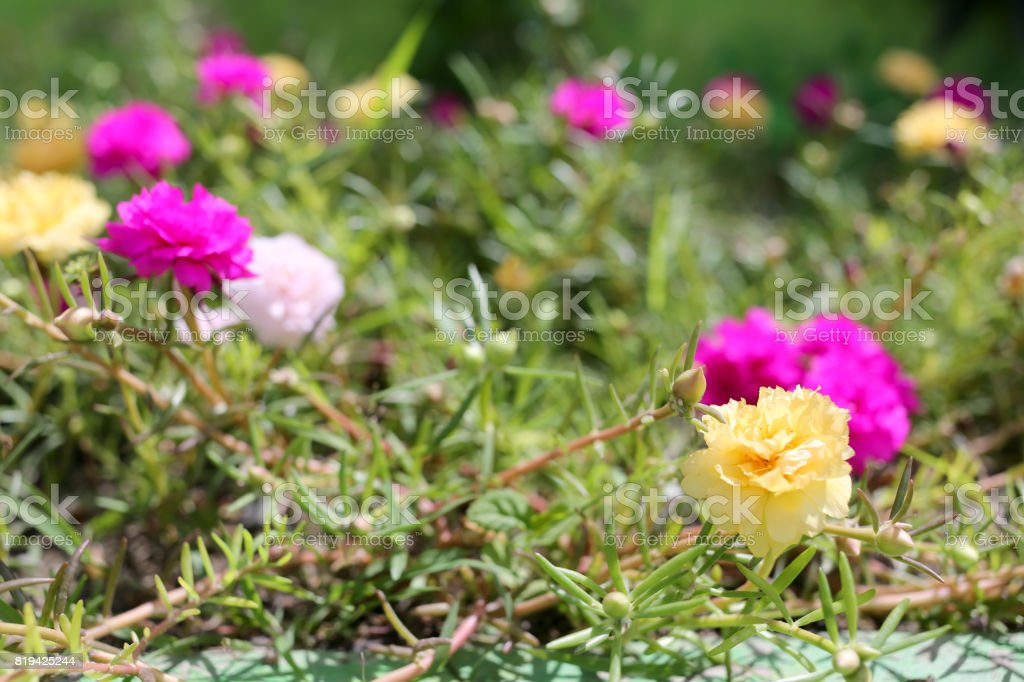 Portulaca oleracea flower or Common Purslane flower in garden, Colorful color blooming during all season. stock photo