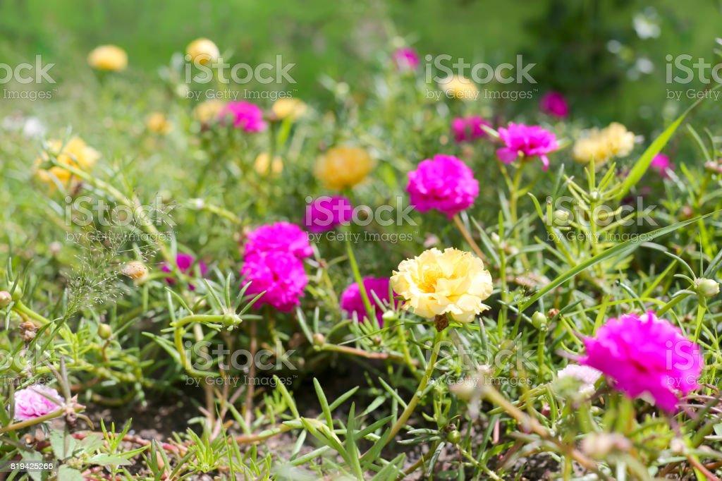 Portulaca oleracea flower or Common Purslane flower in garden. stock photo